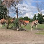 Żyrafy to pierwsze zwierzaki, które podziwiam, są naprawdę piękne!